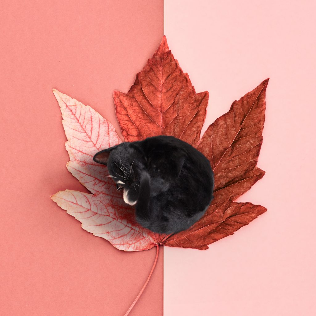 Tiny black cat curled up on red autumn leaf, plain background