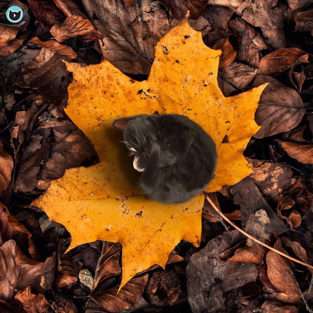 tiny kitty Felini curled up on yellow maple leaf - autumn greetings